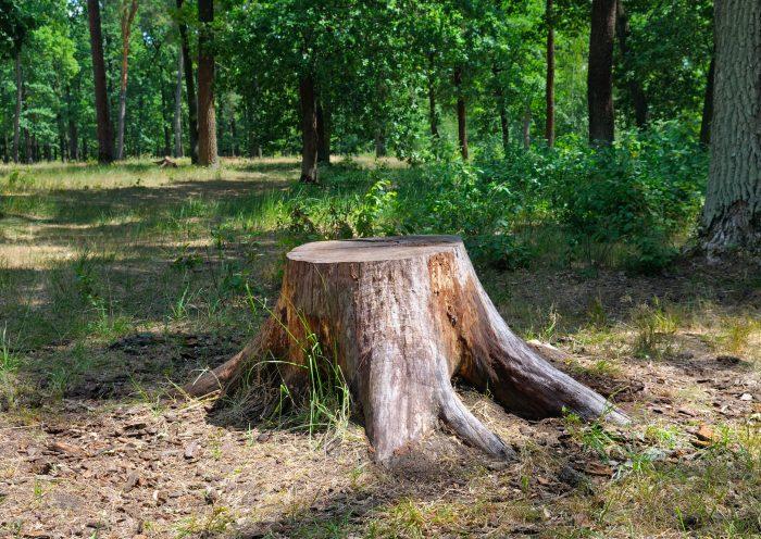 souche-arbre